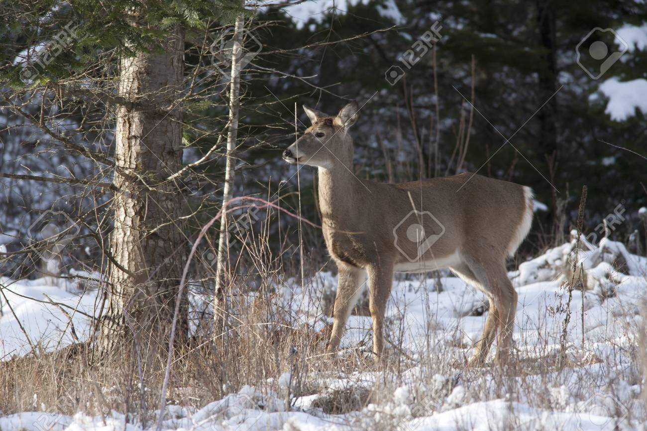 Side portrait of deer Stock Photo - 17210947