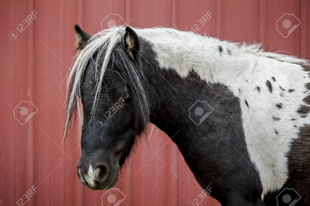 Close Up Of A Cute Black And White Horse By The Red Barn In North Stock Photo Picture And Royalty Free Image Image 107536097
