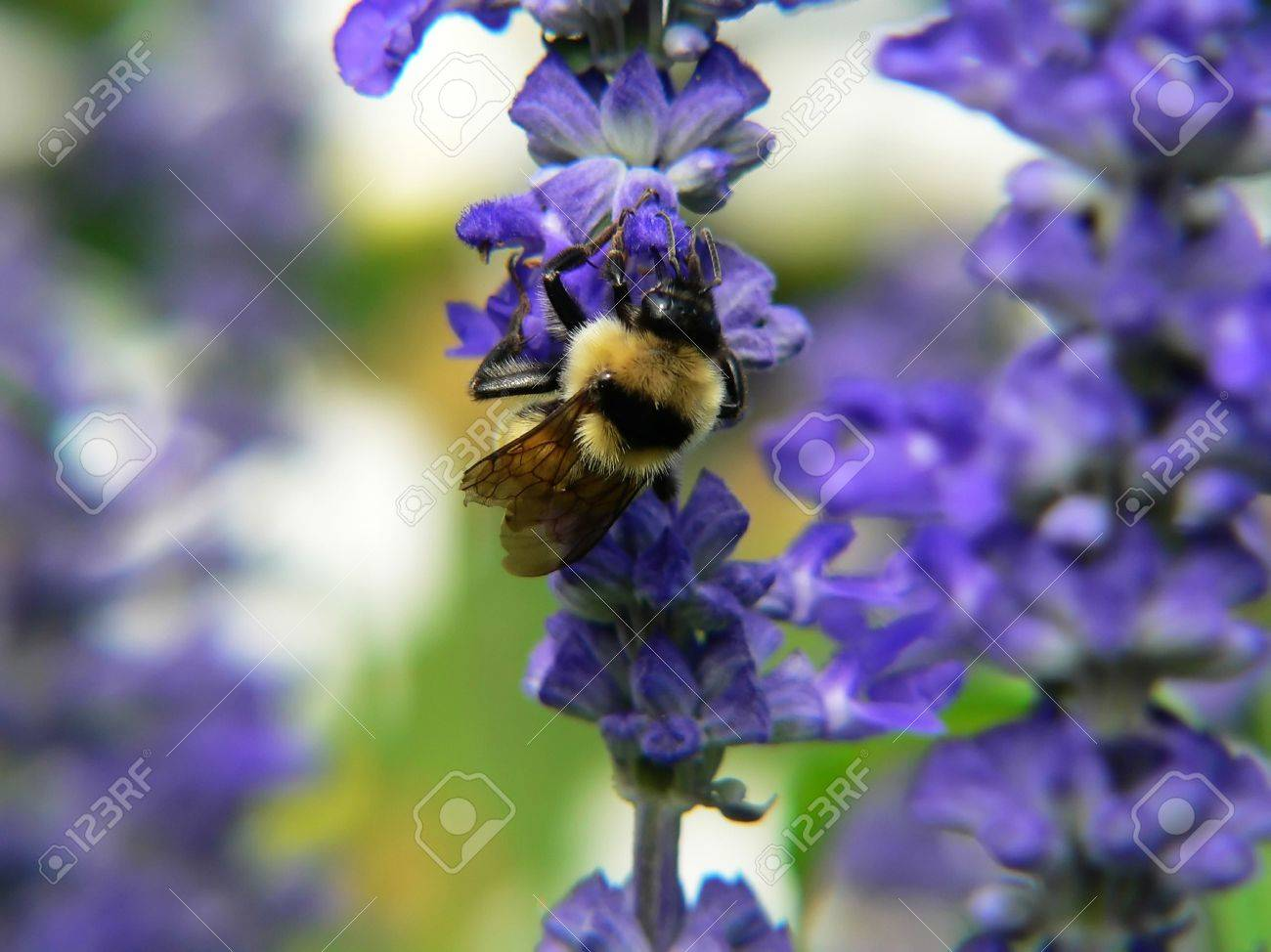 Bumble Bee On Purple Flower Stock Photo Picture And Royalty Free