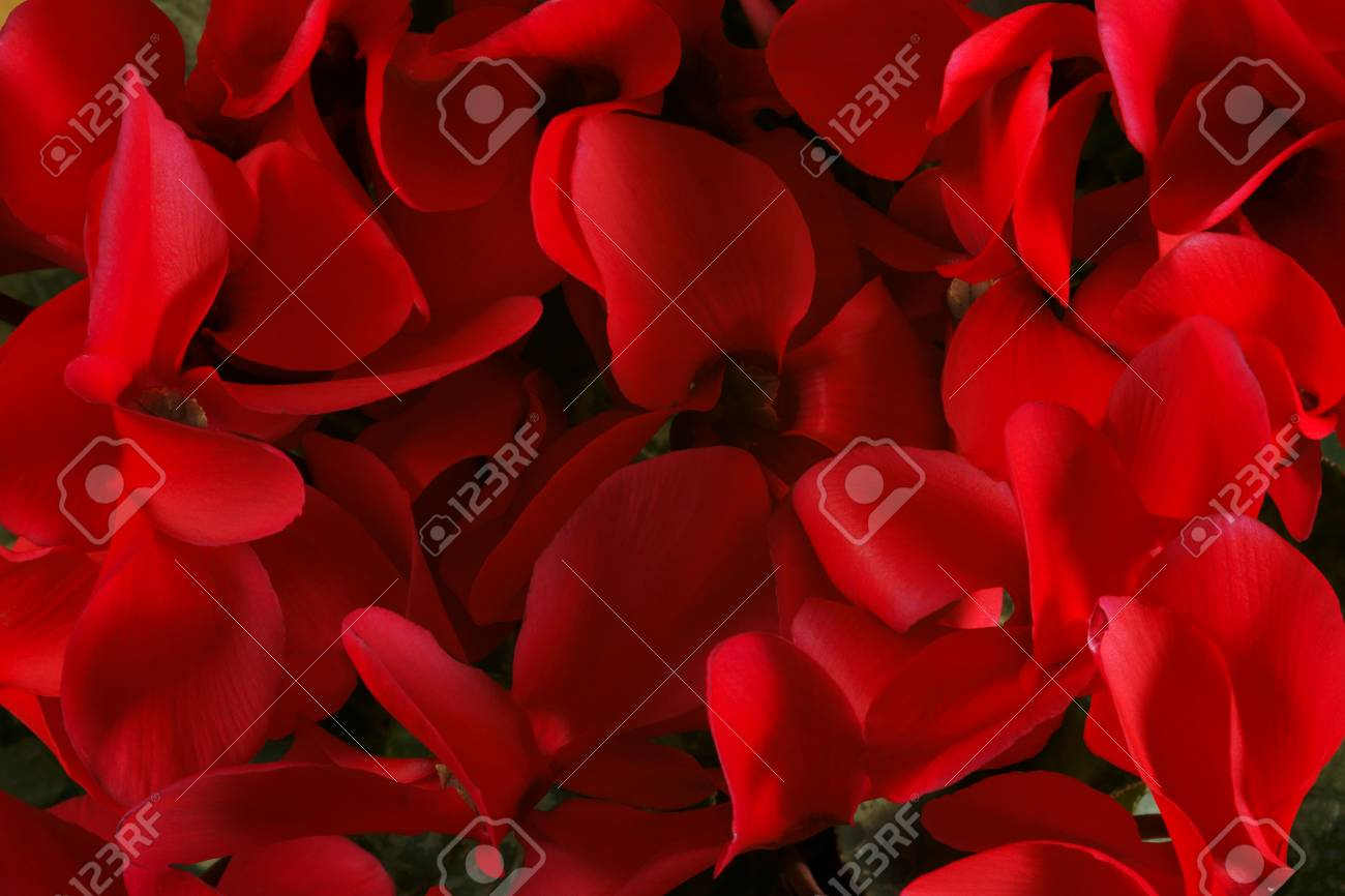 Bouquet Of Red Violets Stock Photo, Picture And Royalty Free Image. Image 23952104.