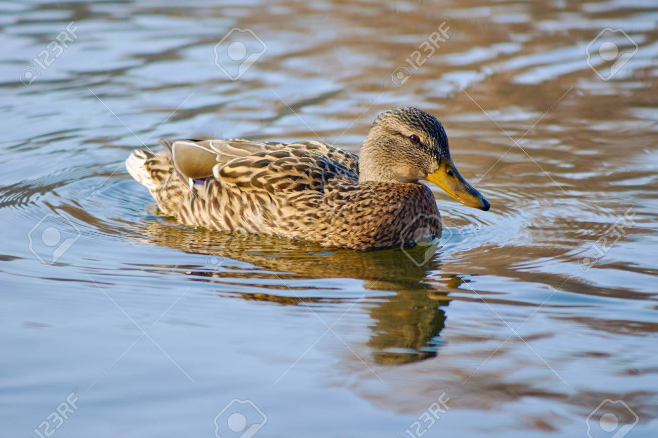 A Female Mallard Duck Floating On The Pond Stock Photo, Picture And ...