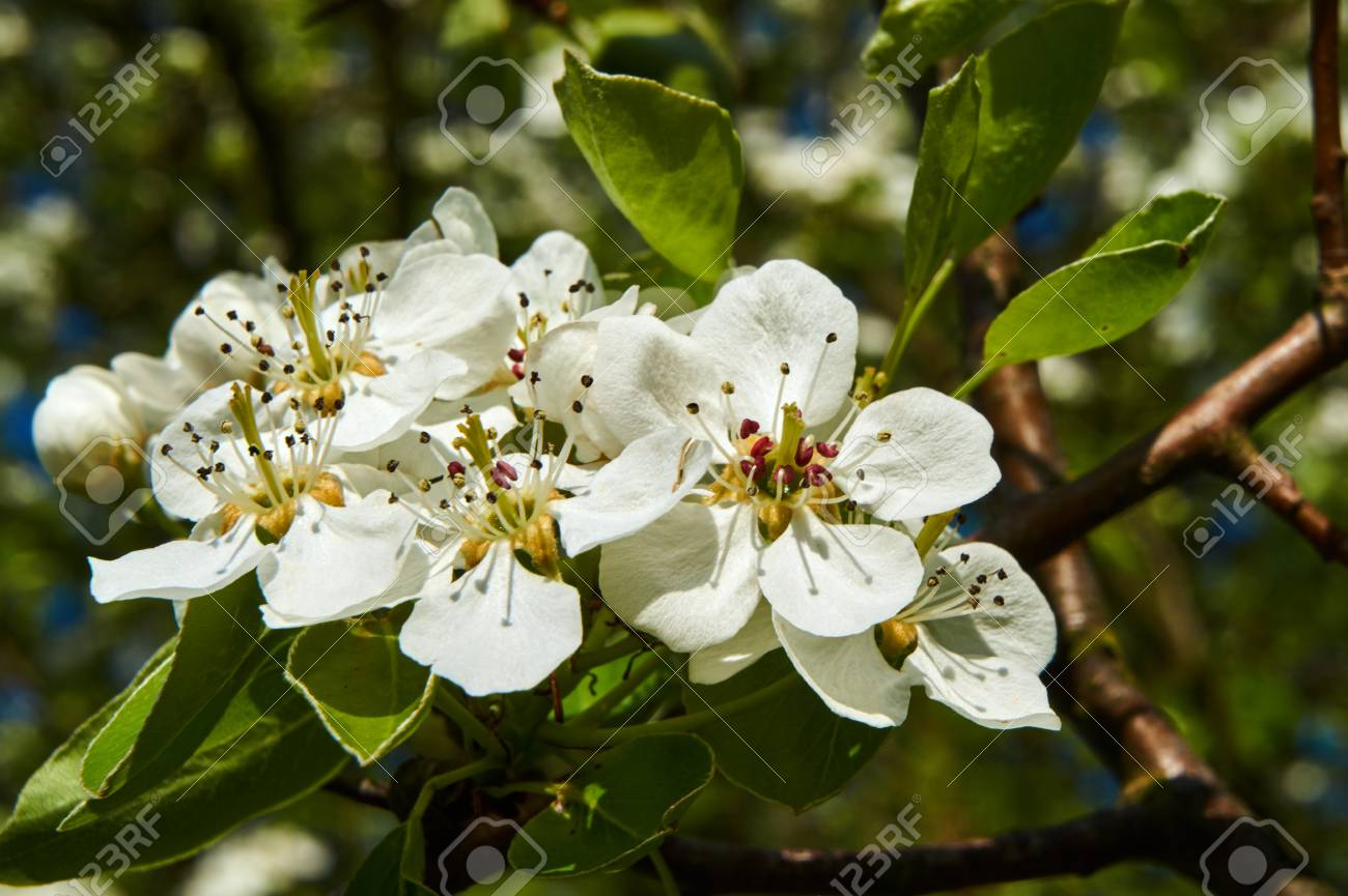 Small White Flowers On A Tree In The Spring In Poland Stock Photo