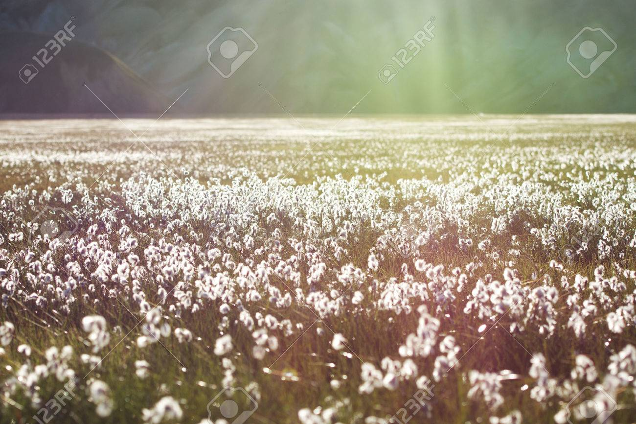 Cotton Grass Field With White Flowers And Mountains On A Background