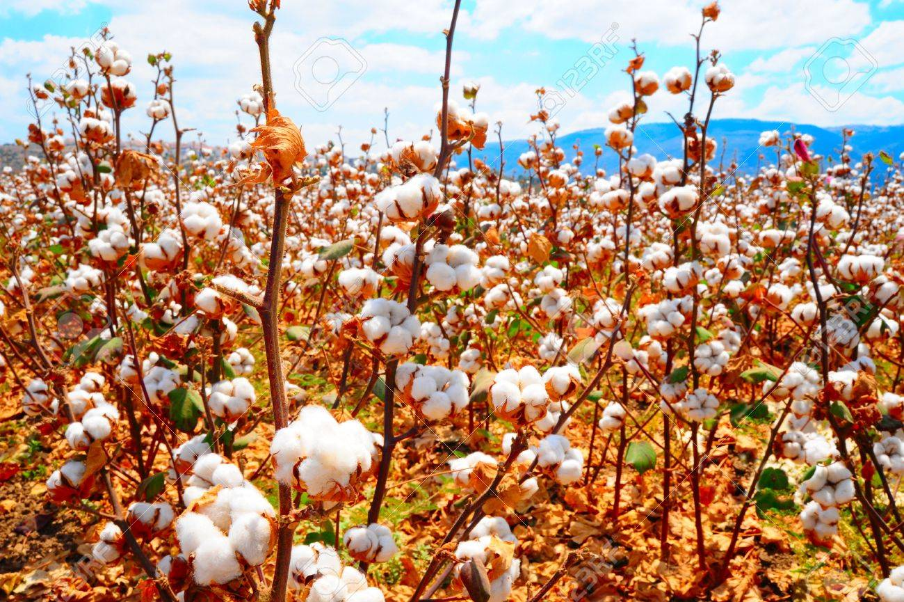 Ripe Cotton Bolls On Branch Ready For Harvests Stock Photo - 5776770