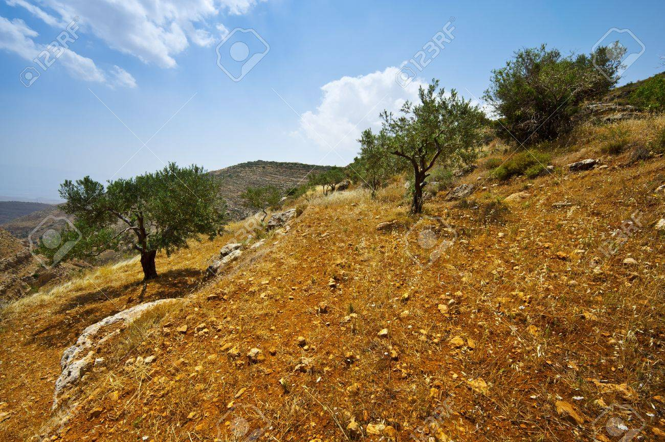 Olive Grove on the Slopes of the Mountains of Samaria, Israel Stock Photo - 12003582
