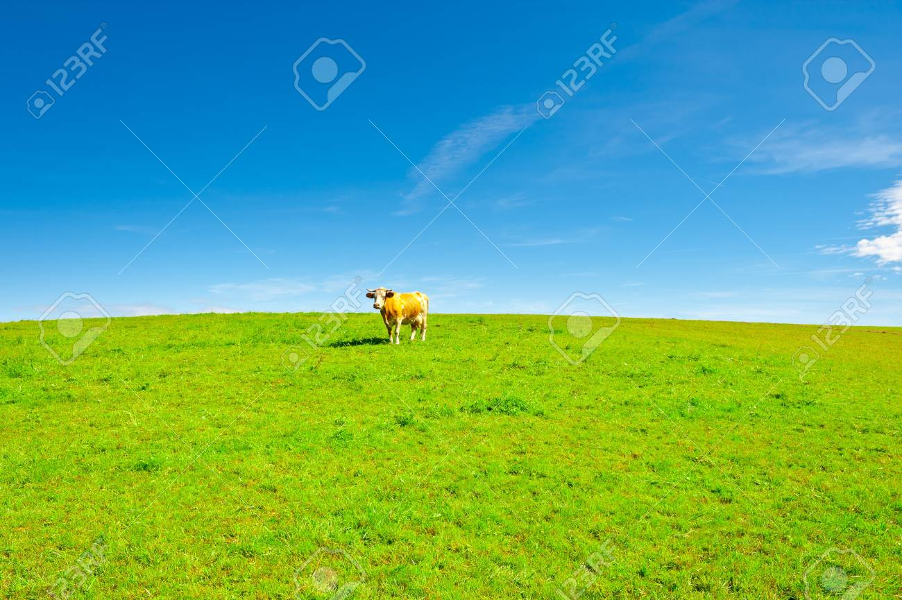 Lonely Cow Grazing on Pasture in Southern Bavaria, Germany Stock Photo - 12939613