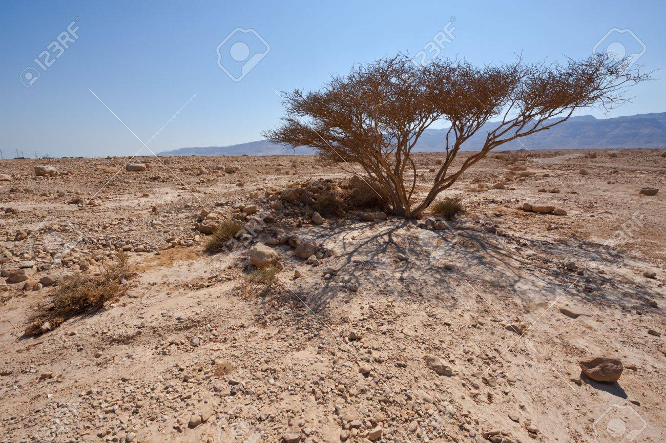 Dry Tree and Big Stones in Sand Hills of Samaria, Israel Stock Photo - 15607296