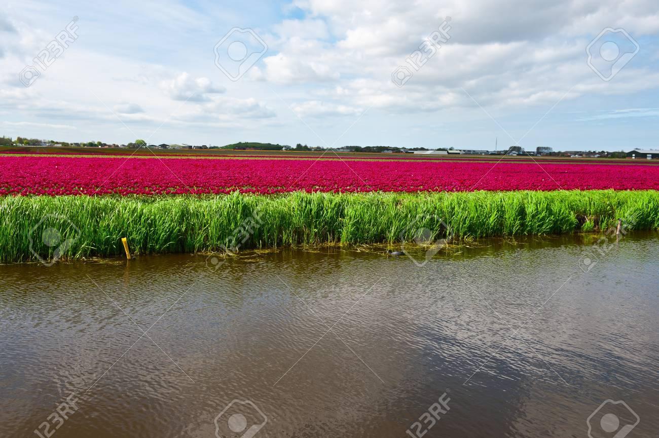 riego de tulipanes