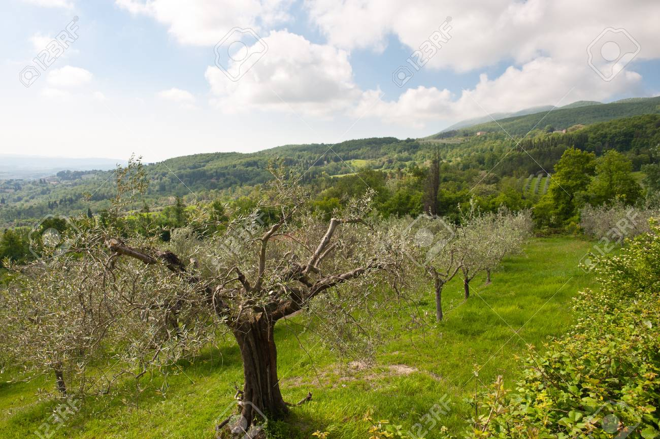 Olive Grove on the Slopes of the Apennine Mountains, Italy Stock Photo - 16990571