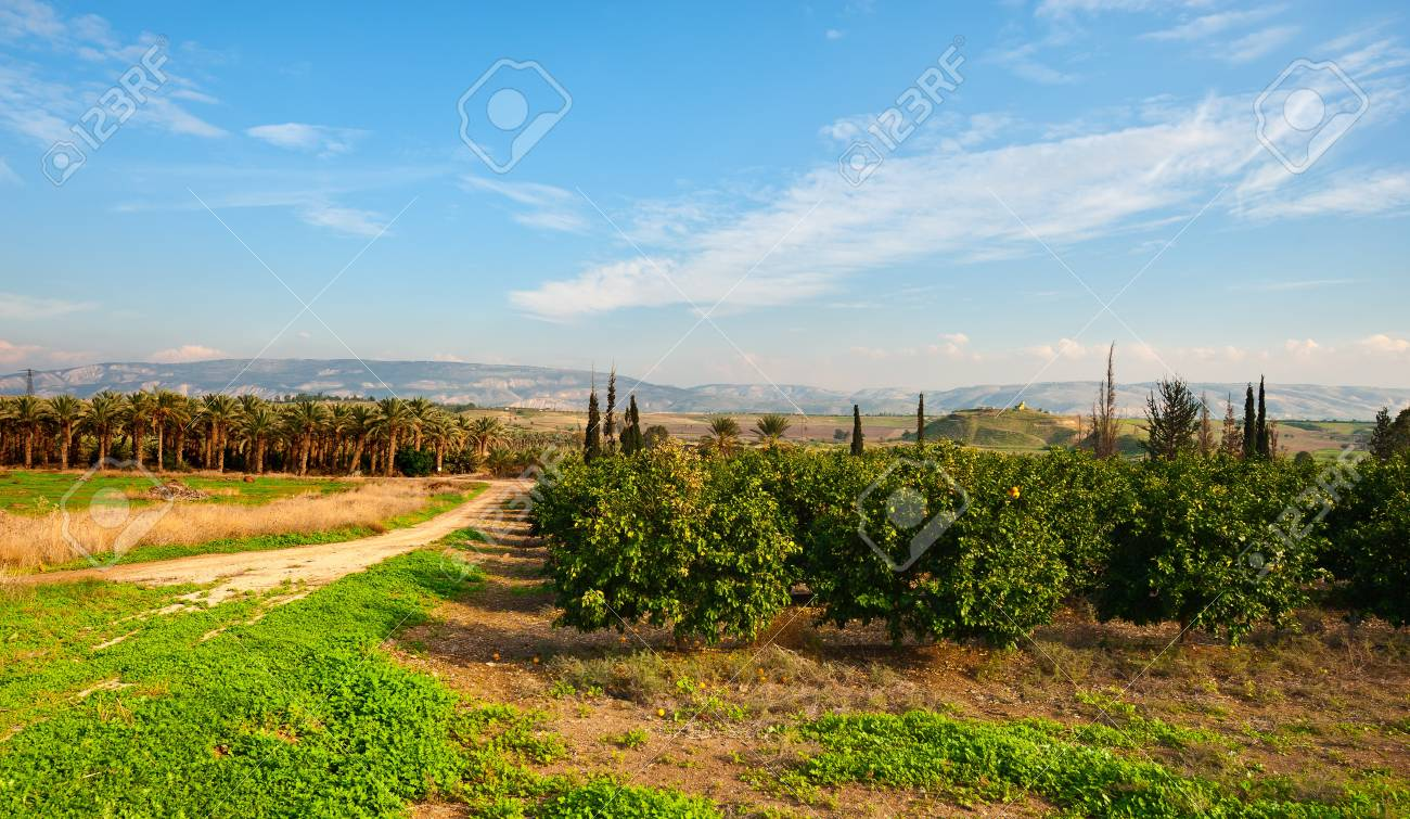 Plantation of Date Palms and Oranges in the Winter Israel Stock Photo - 17174161