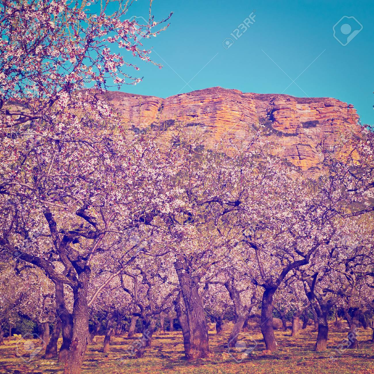 Rocks In Spanish Part - 27: Plantation Of Flowering Almonds On A Background Of Rocks In The Spanish  Pyrenees Stock Photo -