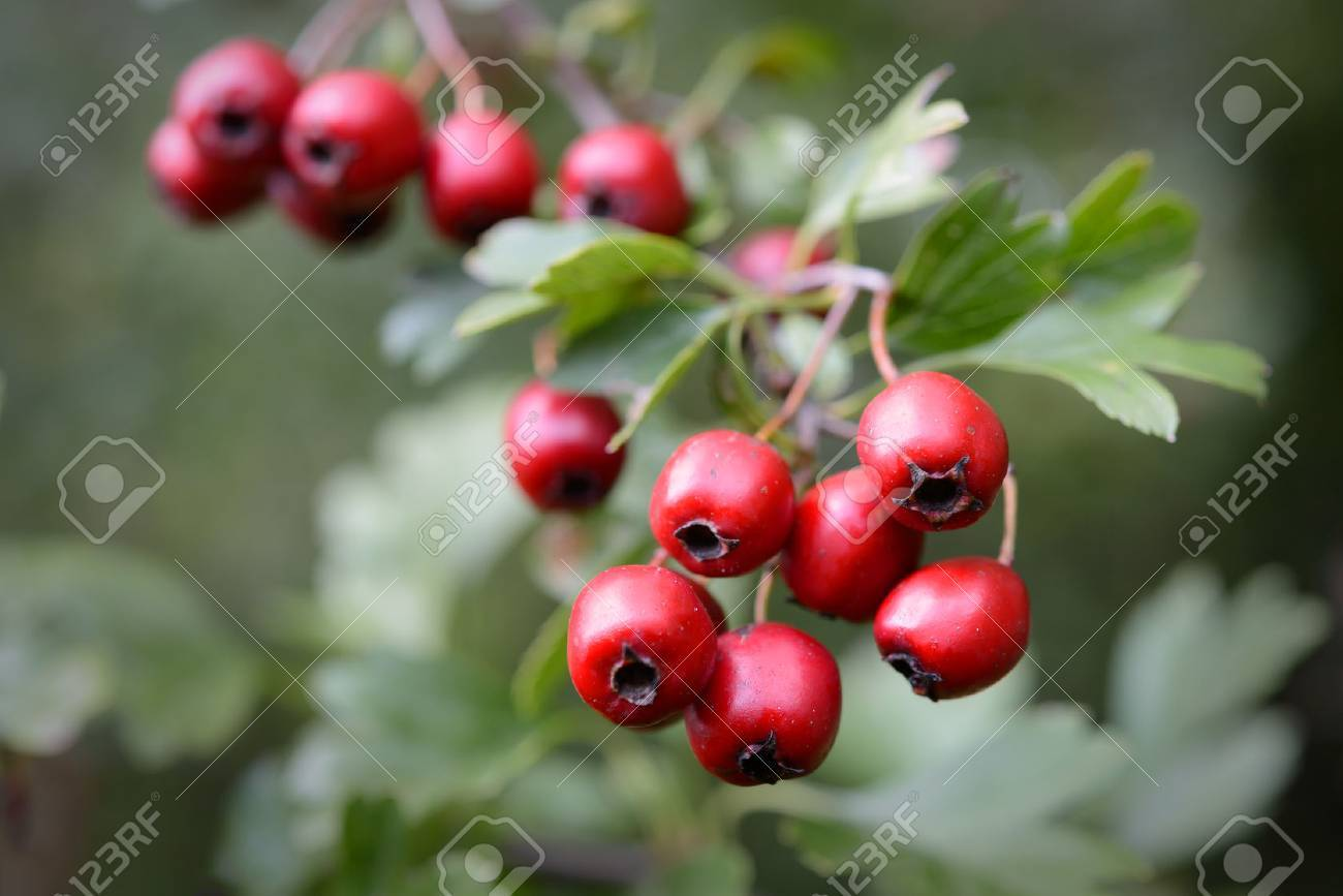 Ripe hawthorn in autumn - 22927402