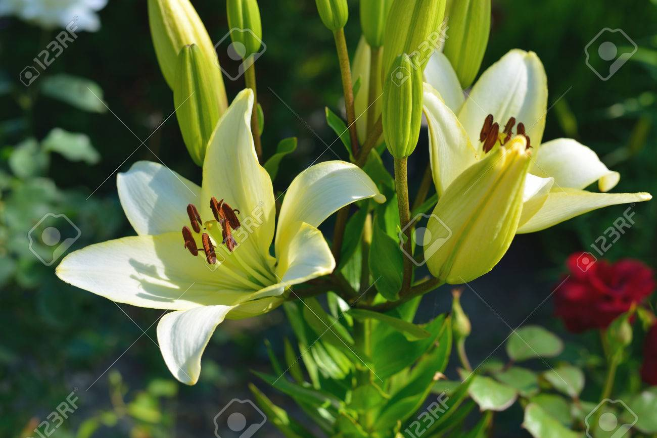Lily Flower Flowers Lilies In Garden Outdoor Stock Photo Picture