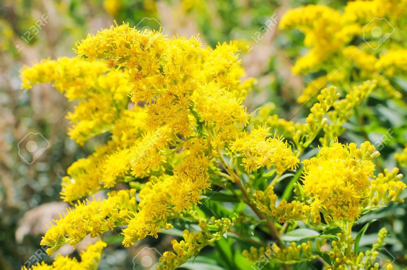 Blooming Goldenrod, Solidago flower - 39218891