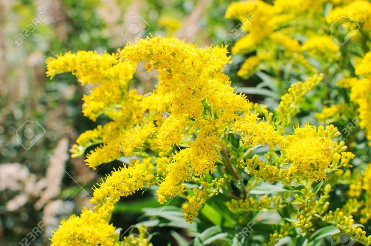 Blooming Goldenrod, Solidago flower - 39218896