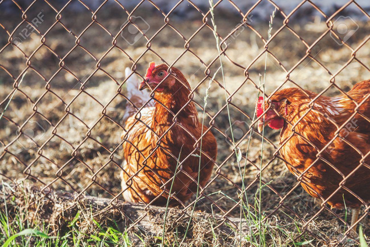 Zwei Braune Huhn Drahtgeflecht Für Käfige Lizenzfreie Fotos, Bilder ...