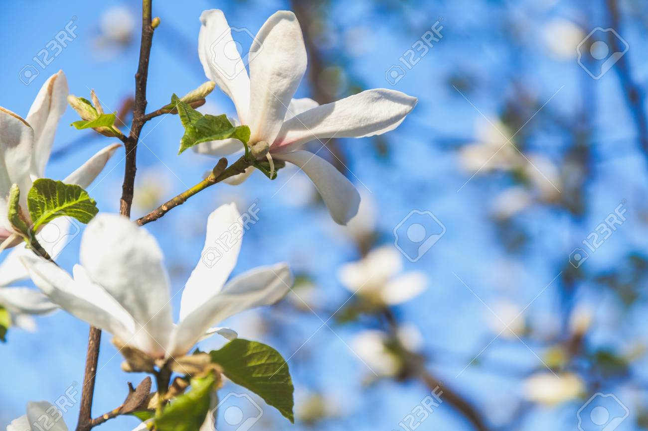 A Branch Of Jasmine With A Beautiful White Flower With Large Stock