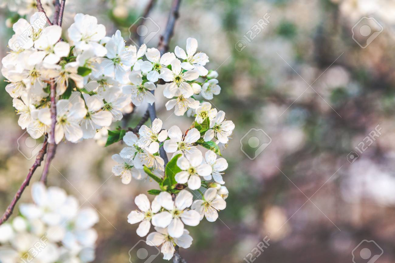 Cherry Tree Branch With Lots Of Small White Flowers Stock Photo