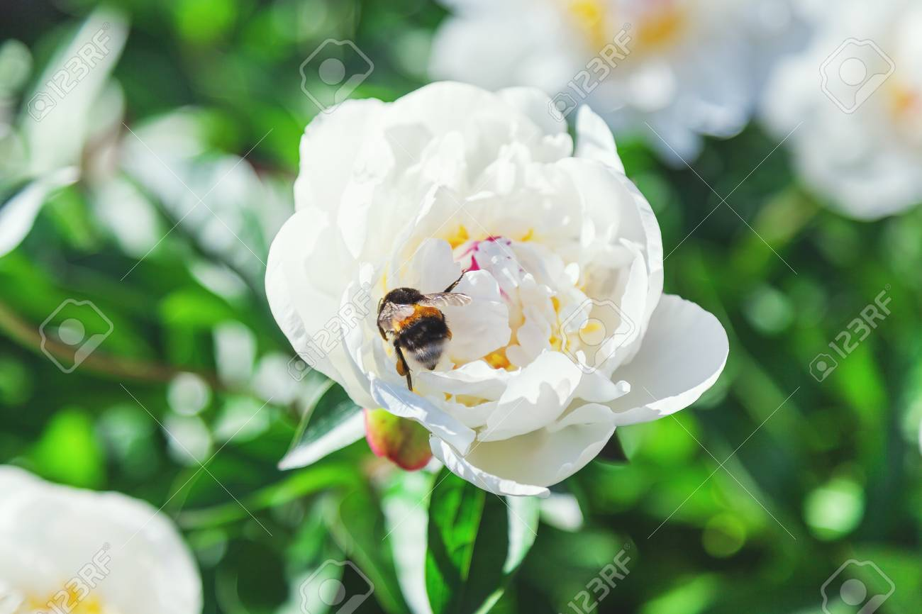 Shaggy Bumblebee Sits On A White Flower Peony With Yellow Stamens