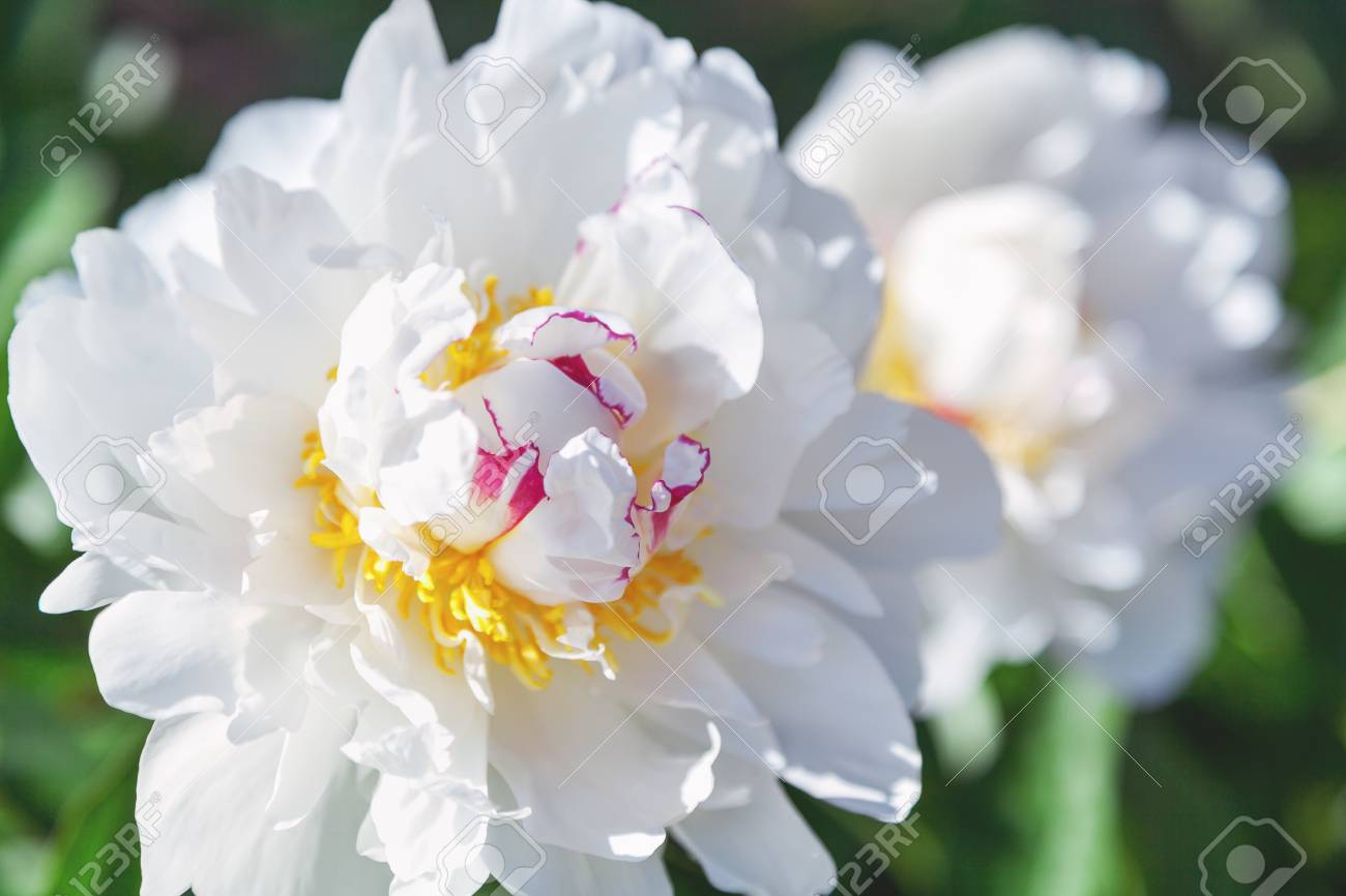 Large White Peony Flower With Yellow Stamens Close Up Stock Photo