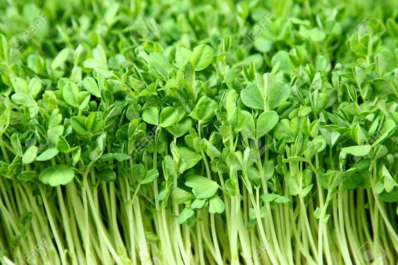 Attractive Fresh Sprouts Of Garden Cress Stock Photo   64989814