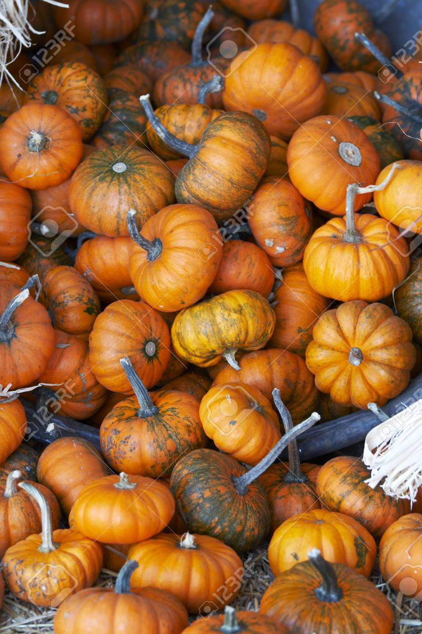 a bunch of small pumpkins on straw bed stock photo picture and