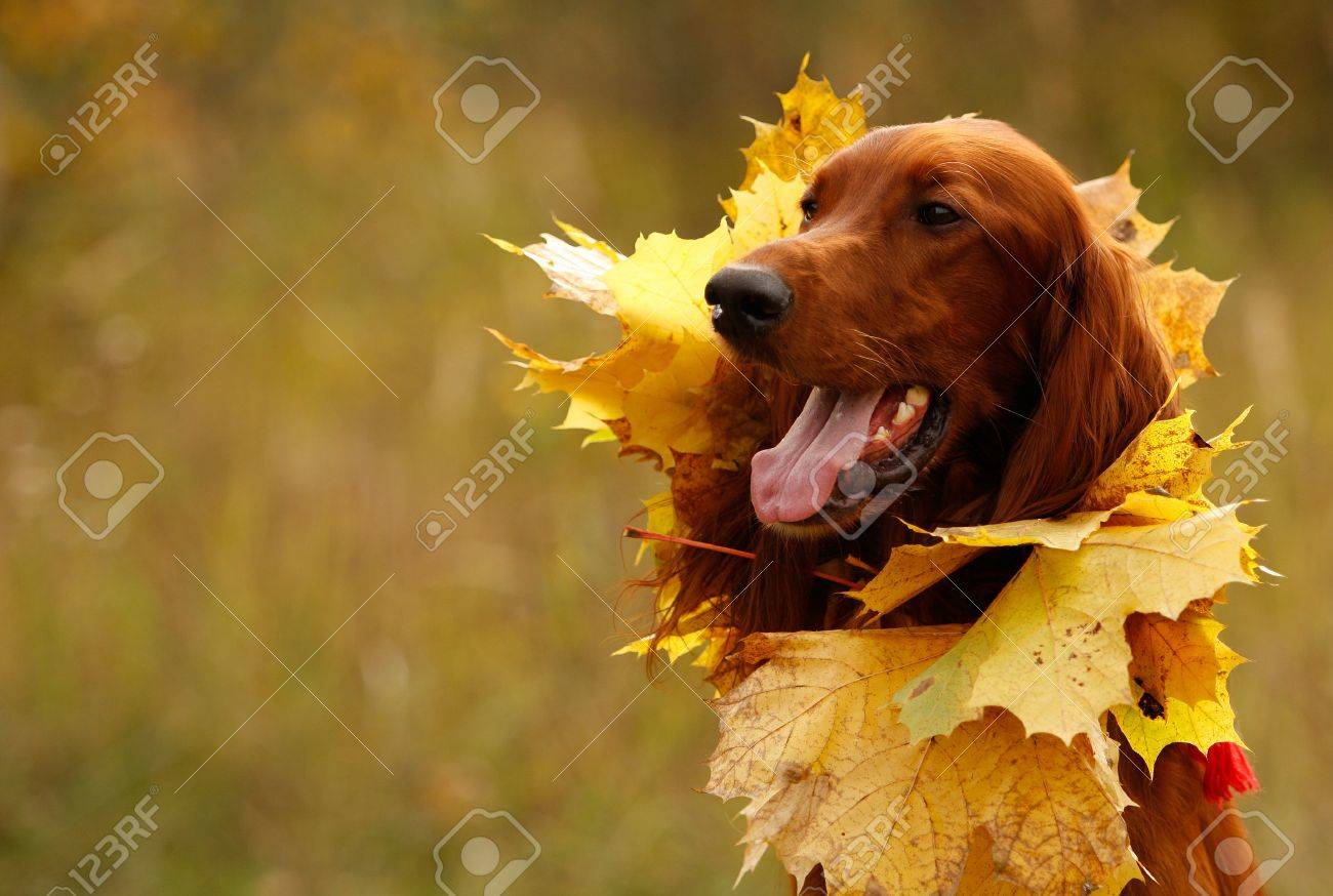 Portrait of a setter with yellow leaves, horizontal Stock Photo - 9811900