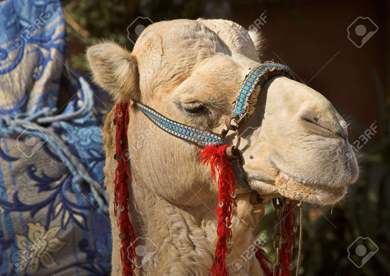 Camel in Morocco - desert area Stock Photo - 775896