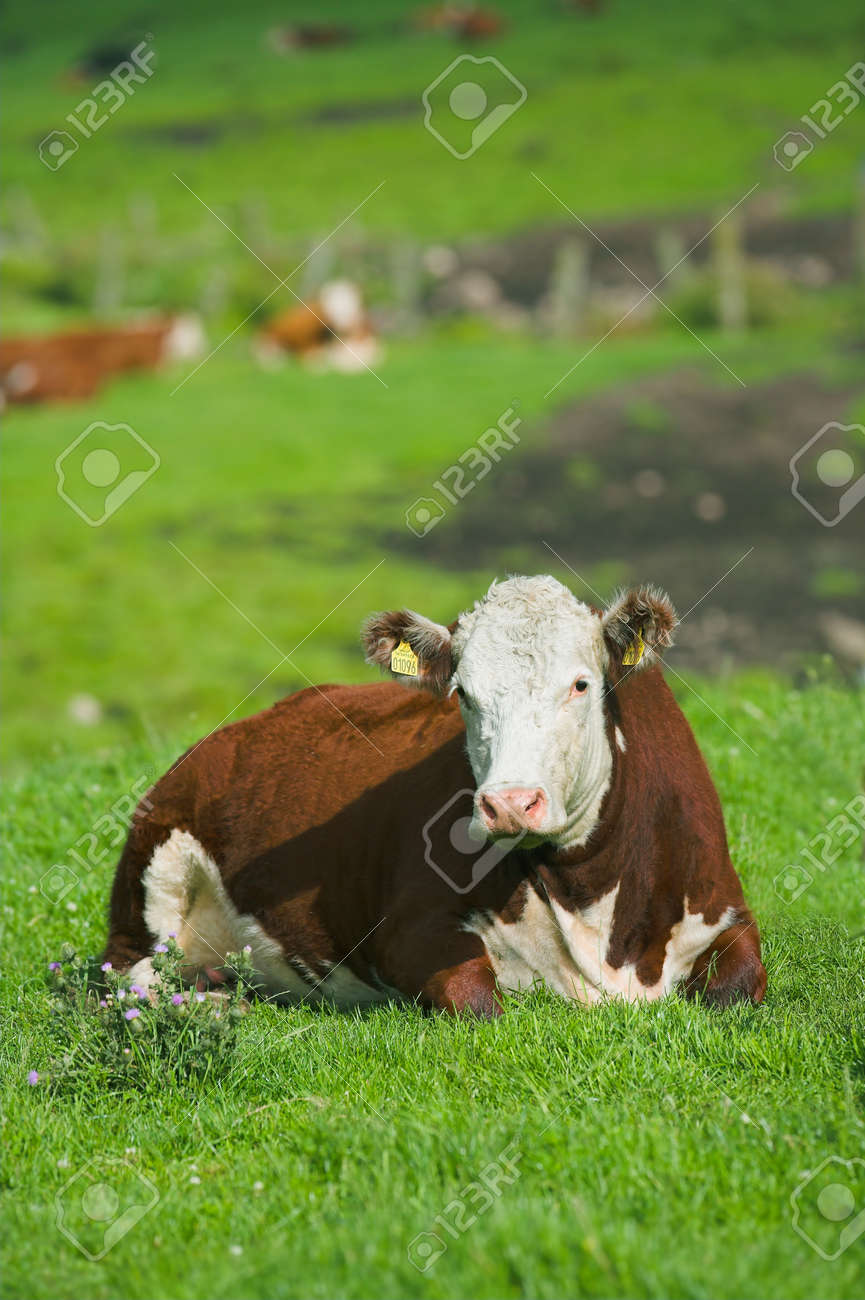 A telephoto of a typical Danish cow Stock Photo - 1498297