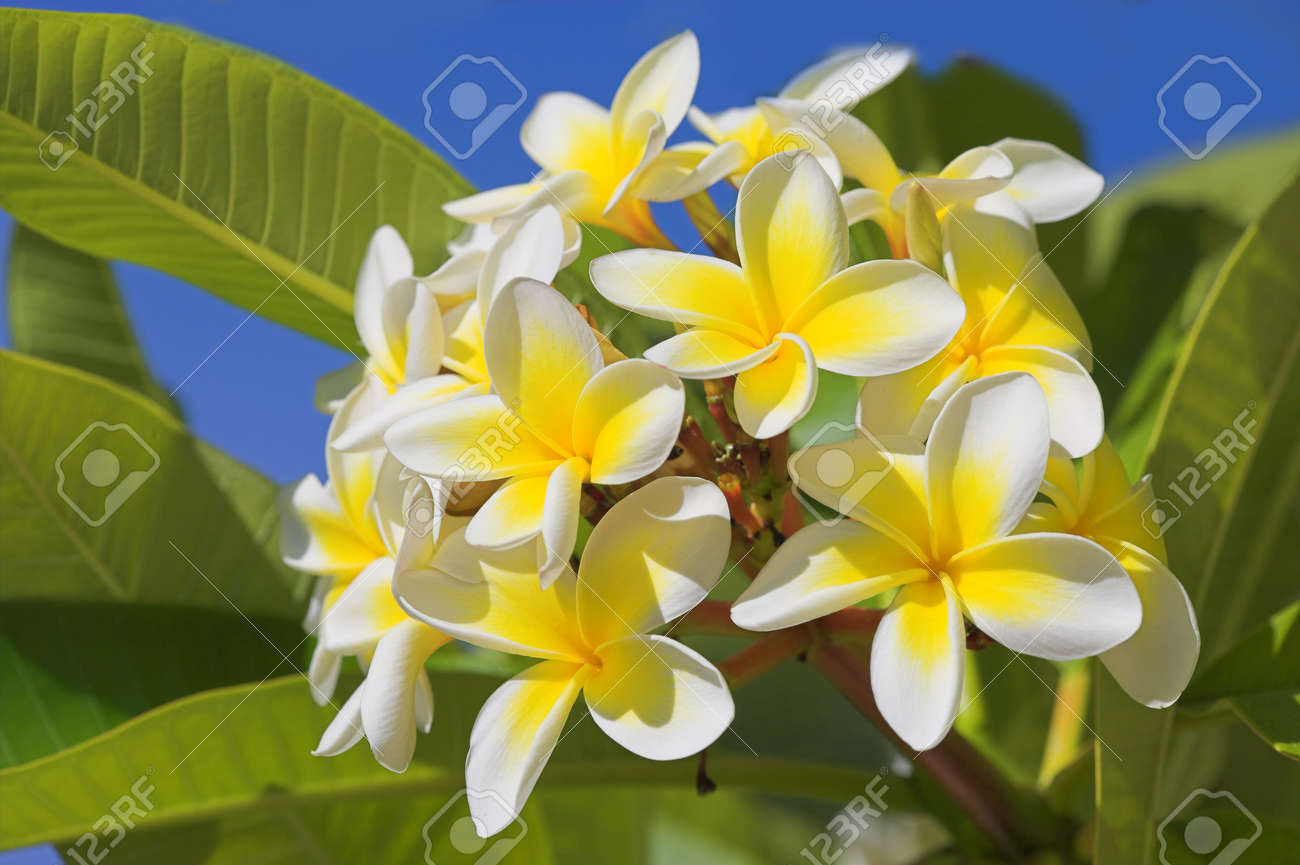 A photo of beautiful hawaiian flowers on a sunny day stock photo a photo of beautiful hawaiian flowers on a sunny day stock photo 2795766 izmirmasajfo Image collections