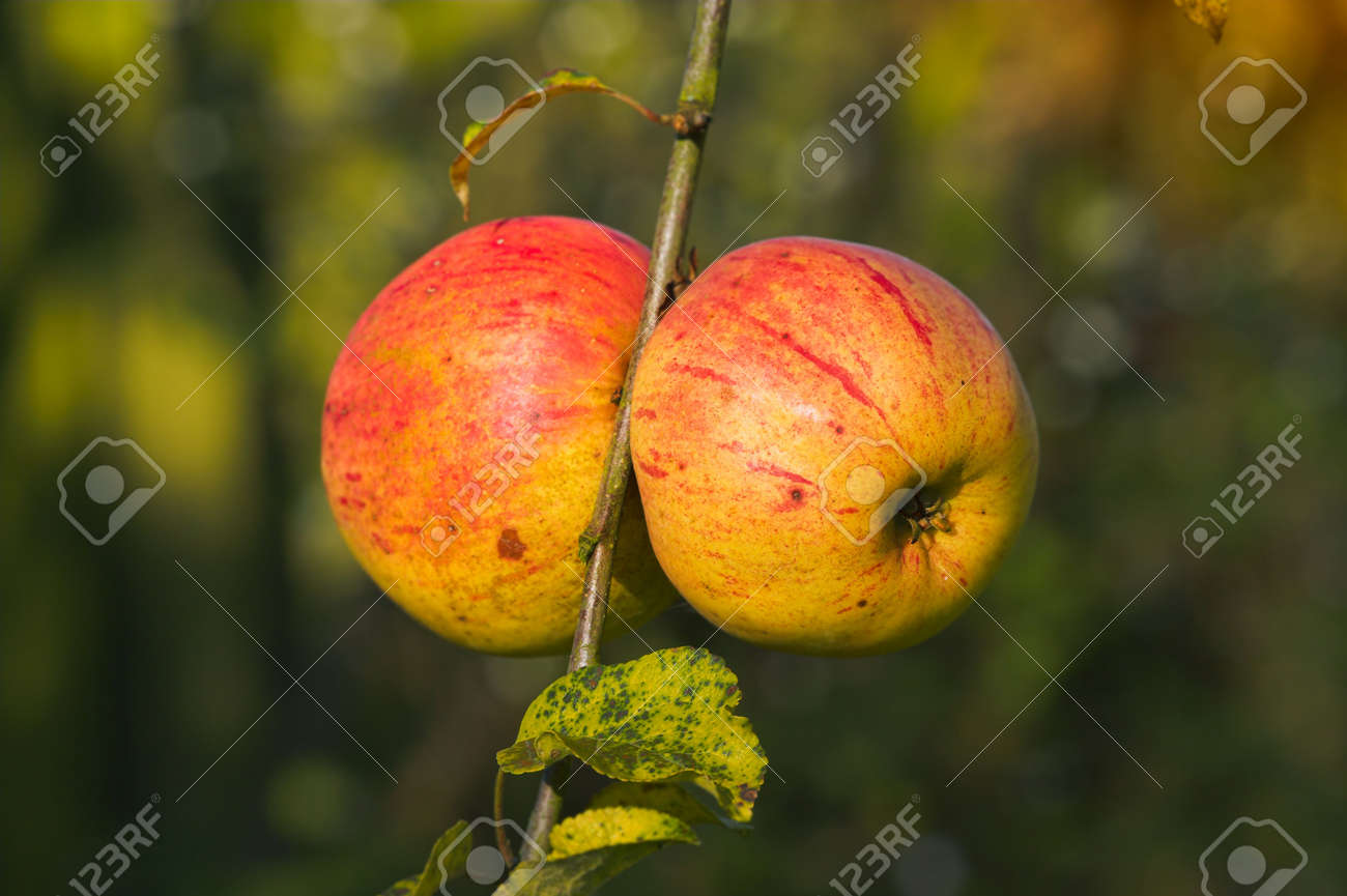 A photo of apples late autumn i Stock Photo - 4760324