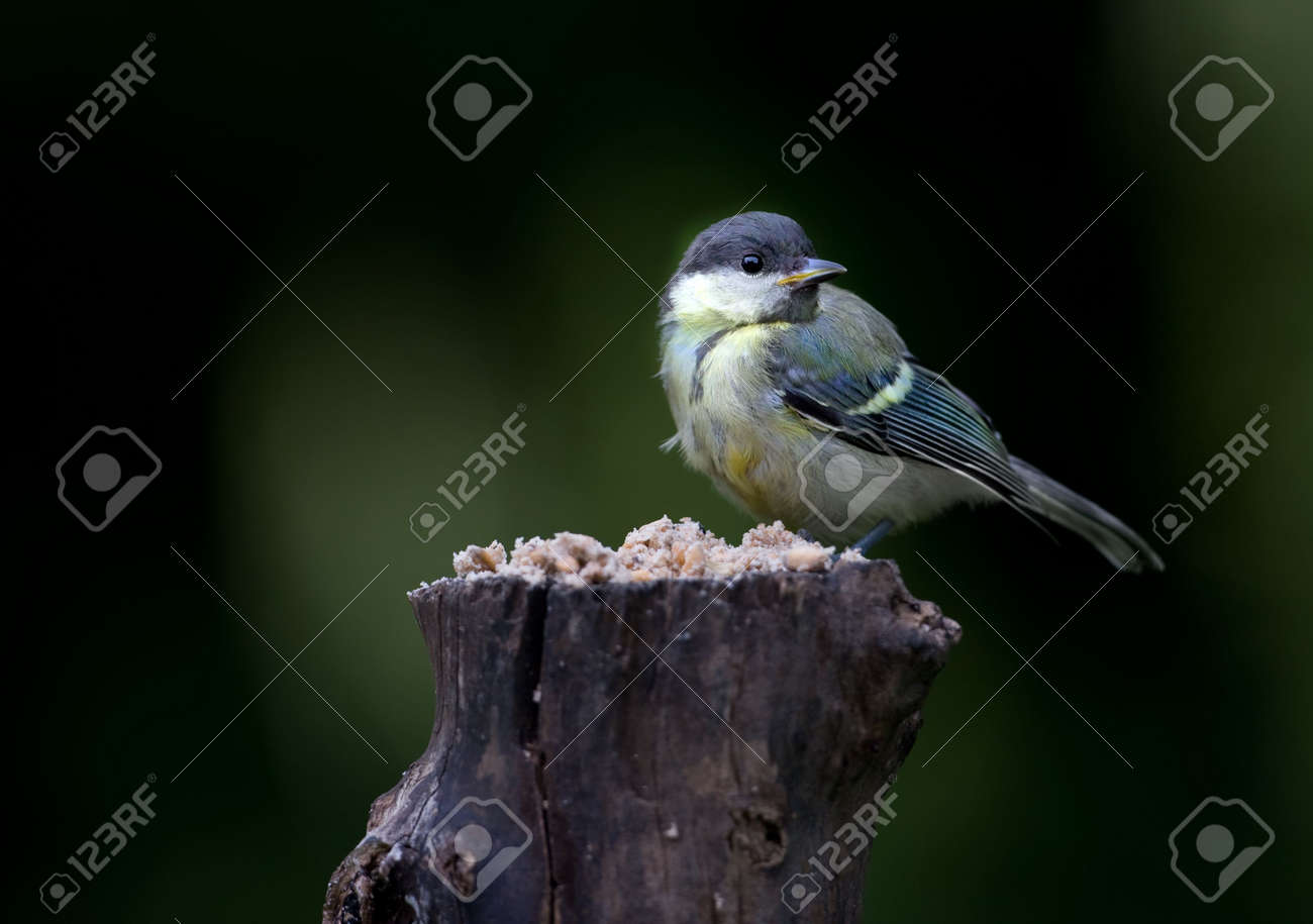 The Great Tit Stock Photo - 5417180