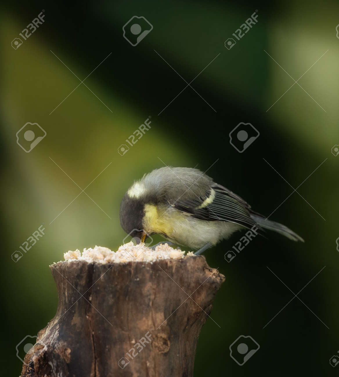 The Great Tit Stock Photo - 5606512