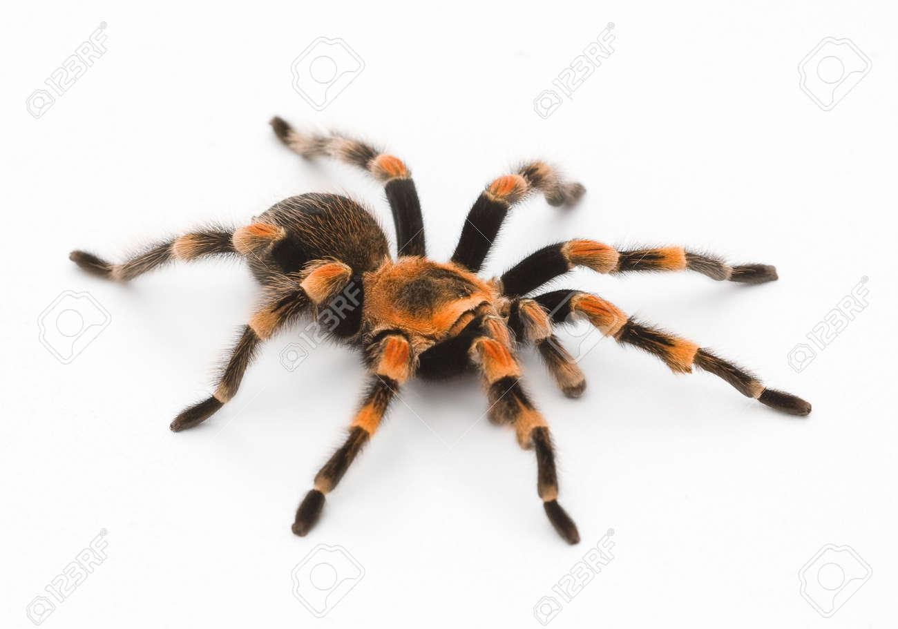 Red Knee Tarantula - bird eating spider Stock Photo - 5606548