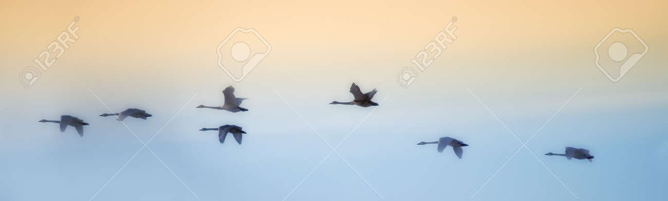 Swans flying in close formation - sky as background - 7292458