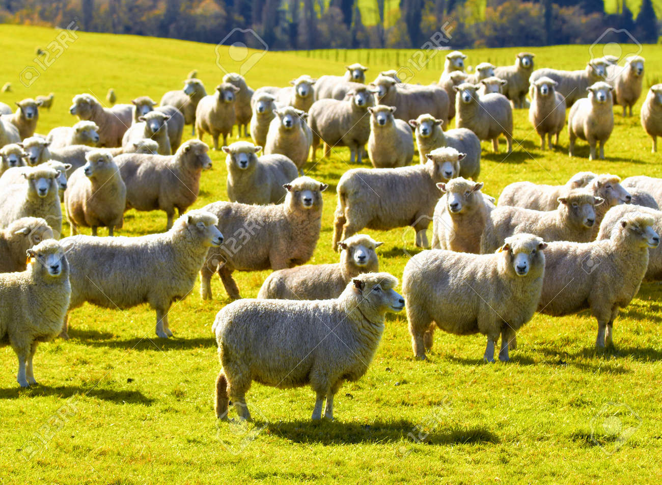 A photo of a herd of sheep in New Zealand - 10720606