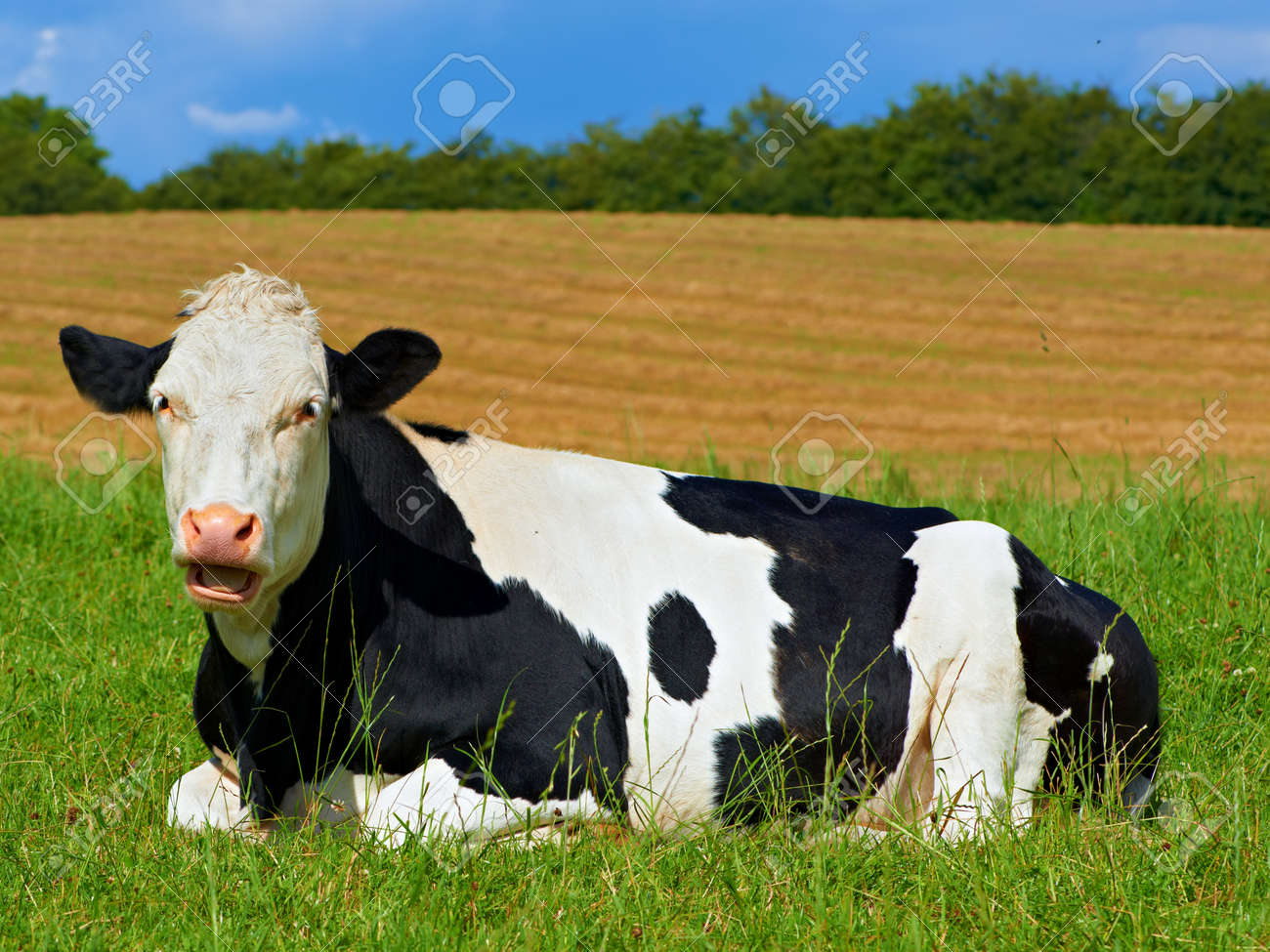 A photo of a black and white cow in natural setting Stock Photo - 14859625
