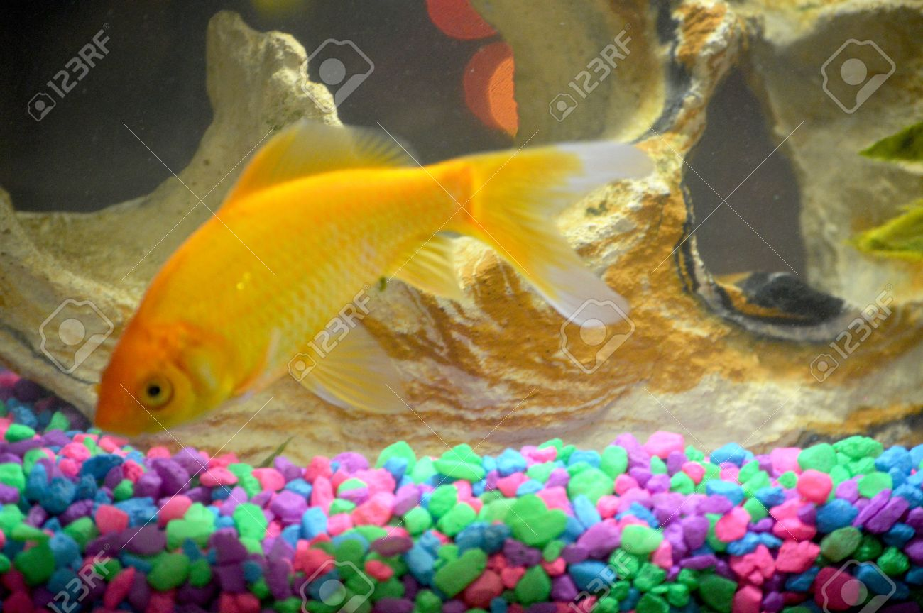 Comet goldfish pet Stock Photo - 25352135