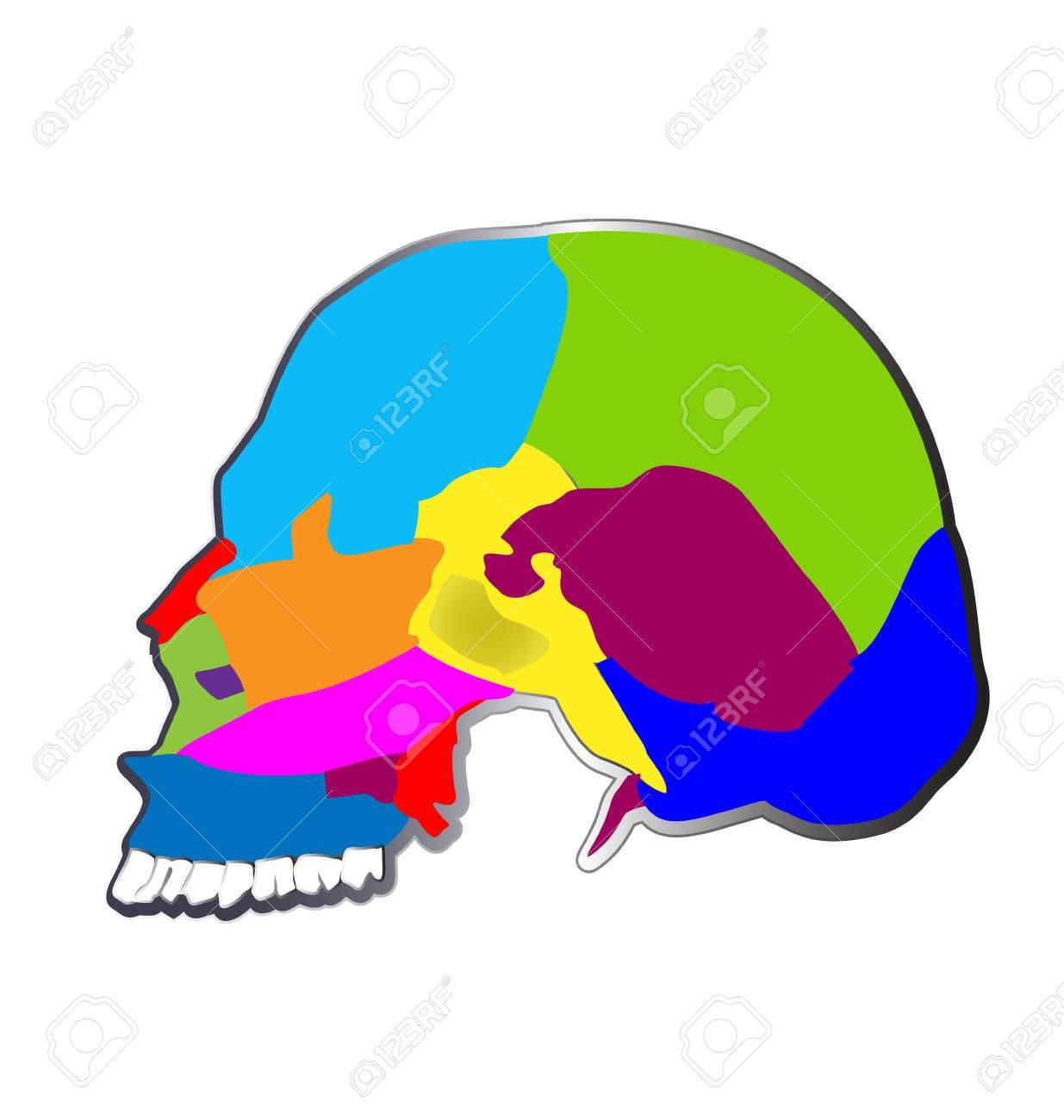 Los Huesos Del Cráneo, Las Funciones, La Estructura Y La Anatomía ...