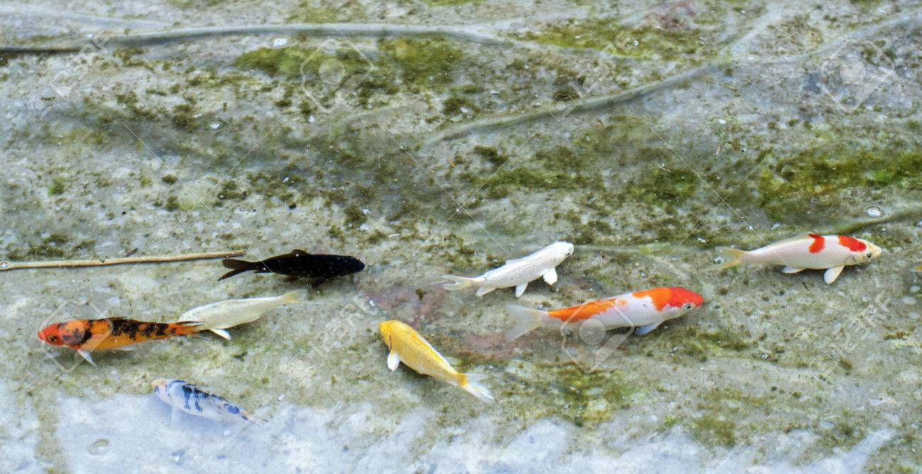 Small Colorful Koi Fish In The Clear Water Stock Photo, Picture And ...
