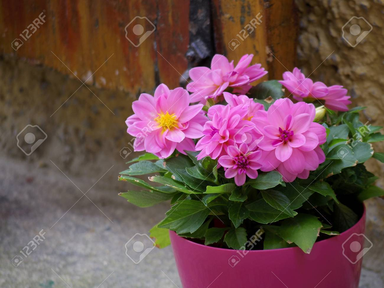 Pink Flower Pot Beside Brick Wall Stock Photo Picture And Royalty