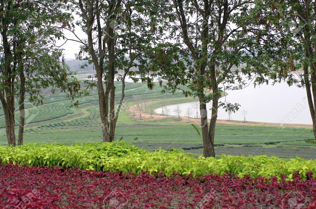 Immagini Di Piante E Alberi piantagione di tè sulla collina con fiori piante e alberi nella parte  anteriore