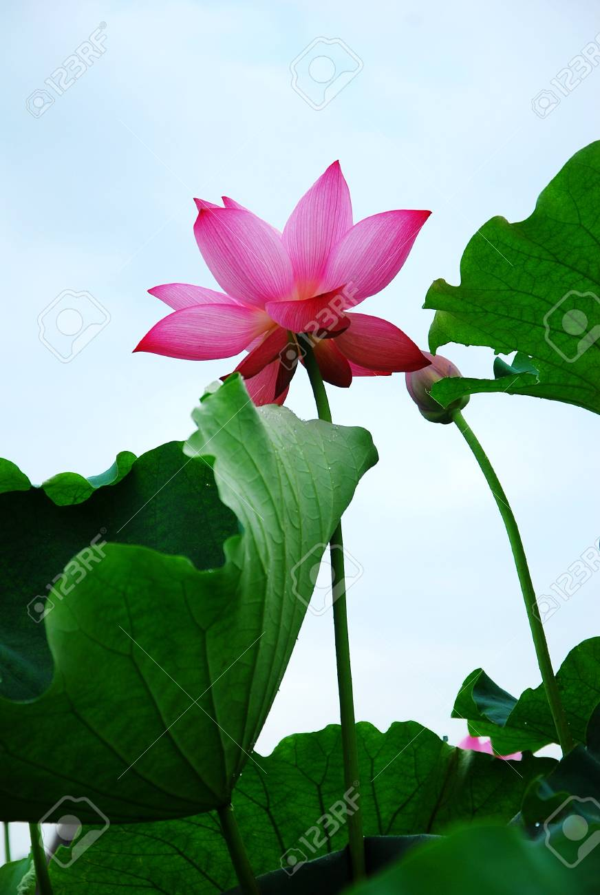 Blossoming lotus flower closeup stock photo picture and royalty blossoming lotus flower closeup stock photo 72404168 mightylinksfo