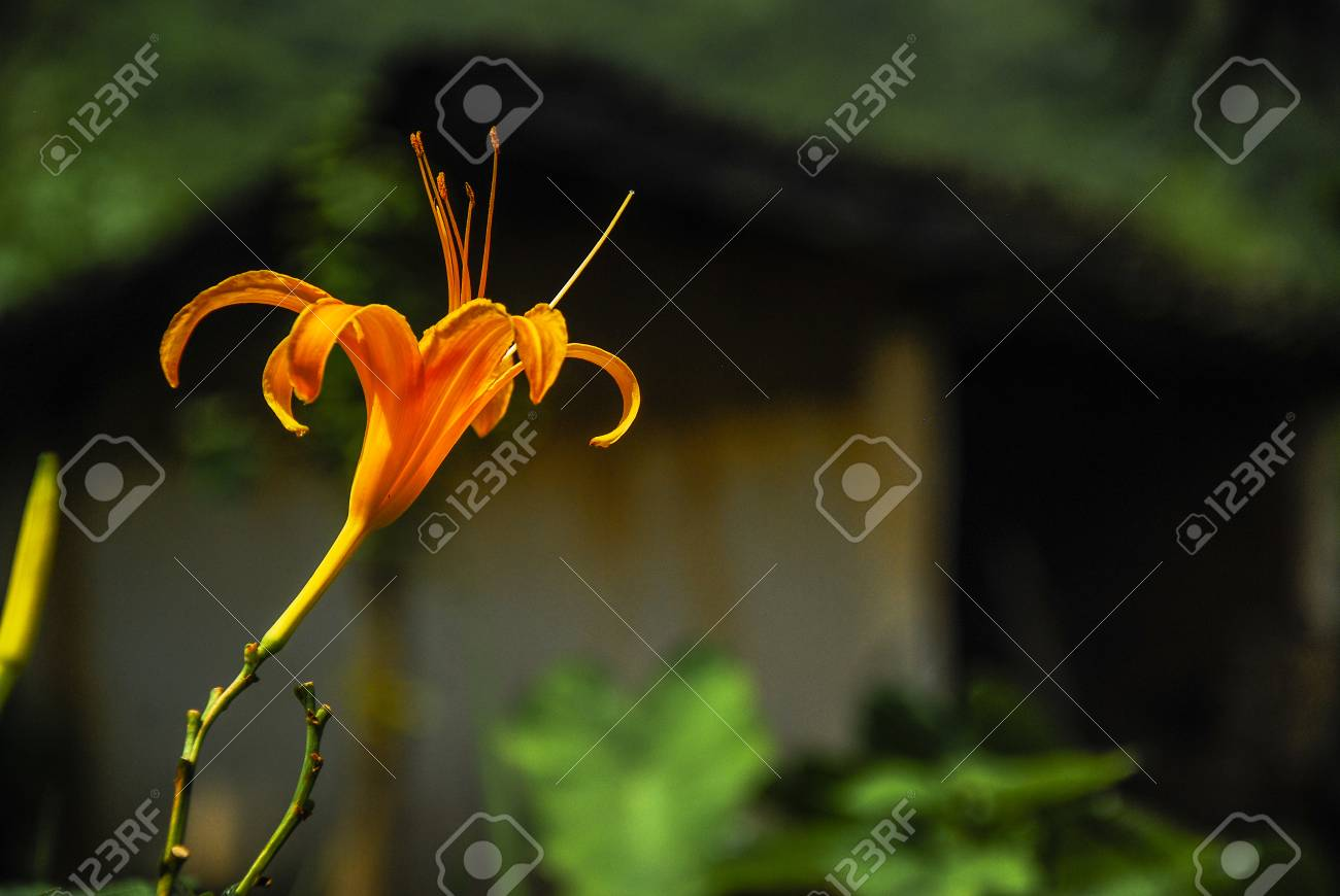 Orange Lily Flower Stock Photo Picture And Royalty Free Image