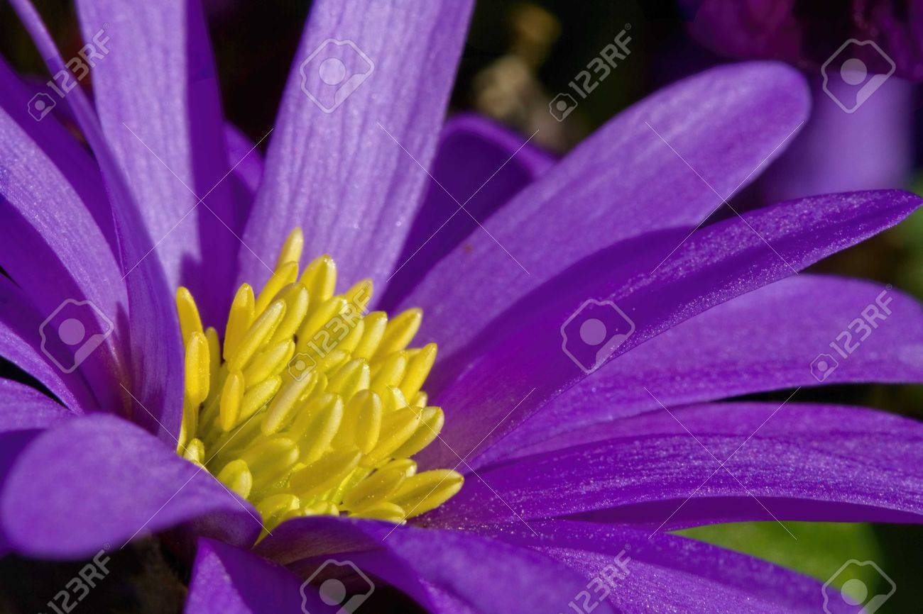 Close up of purple flower with bright yellow stamens stock photo close up of purple flower with bright yellow stamens stock photo 19900590 mightylinksfo