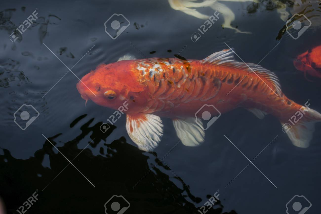 Koi Fish, Colorful Fancy Fish Closeup Swimming At Pond. Stock Photo ...