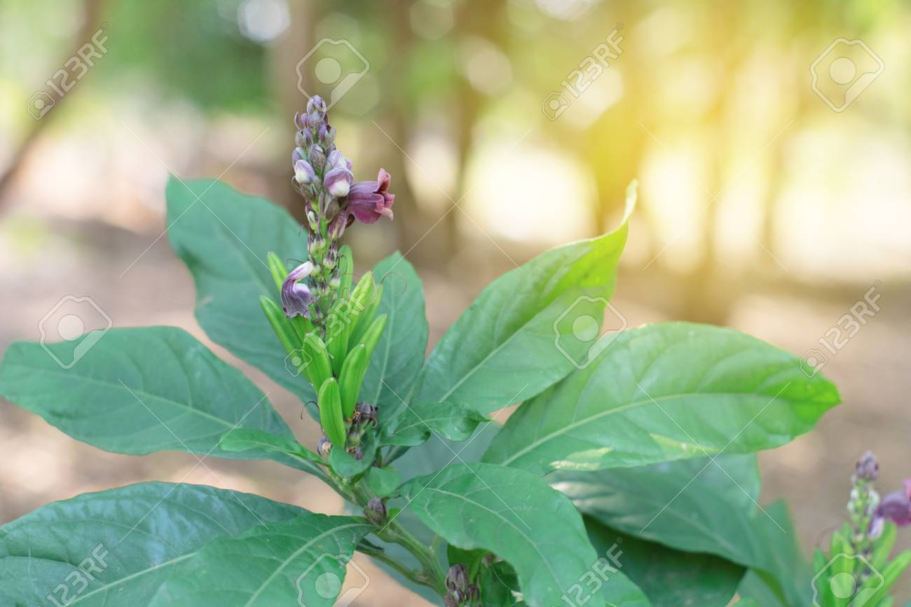 Phlogacanthus Pulcherrimus flower with leaves green. Dee Plaa Gang. - 98635132