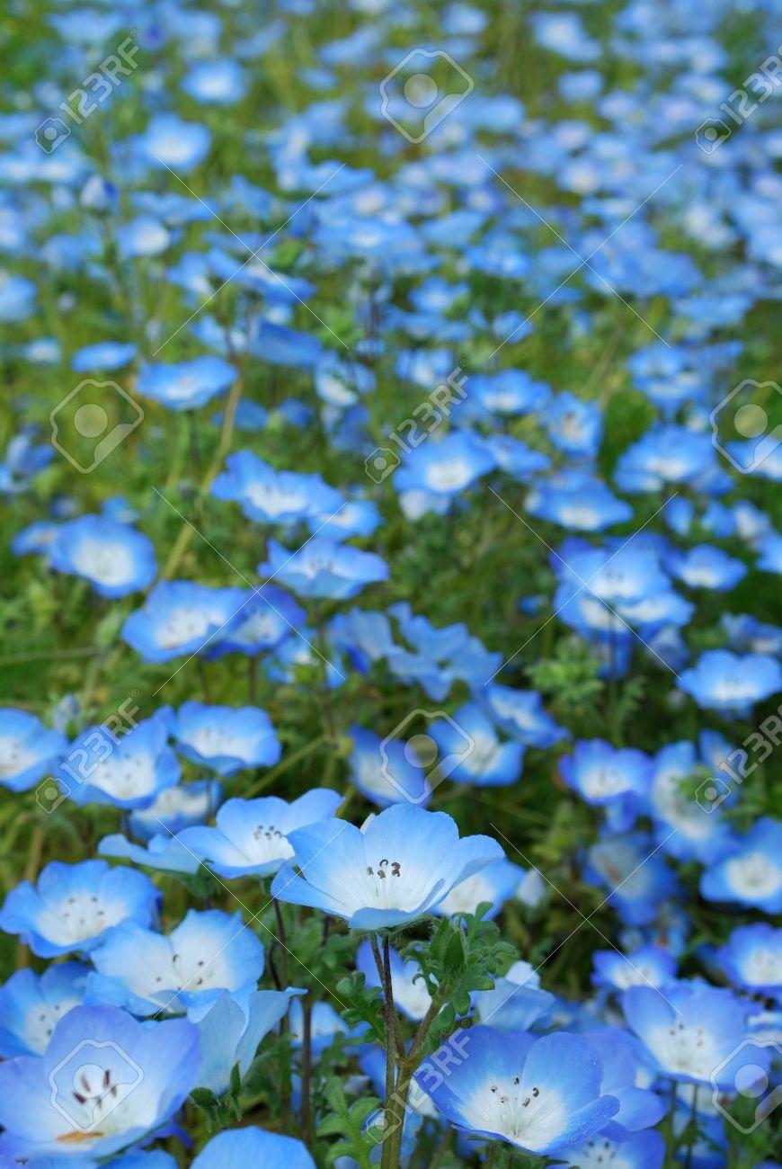 Banque d\u0027images , Champ de petites fleurs bleues
