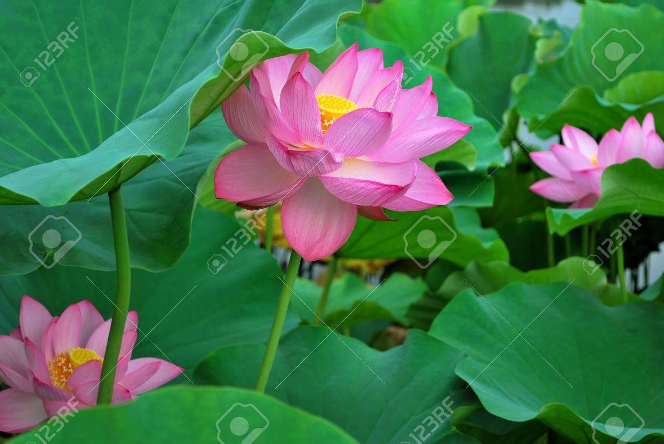 Three Lotus Flowers In Full Bloom, Symbolizing Religion, Buddhism ...