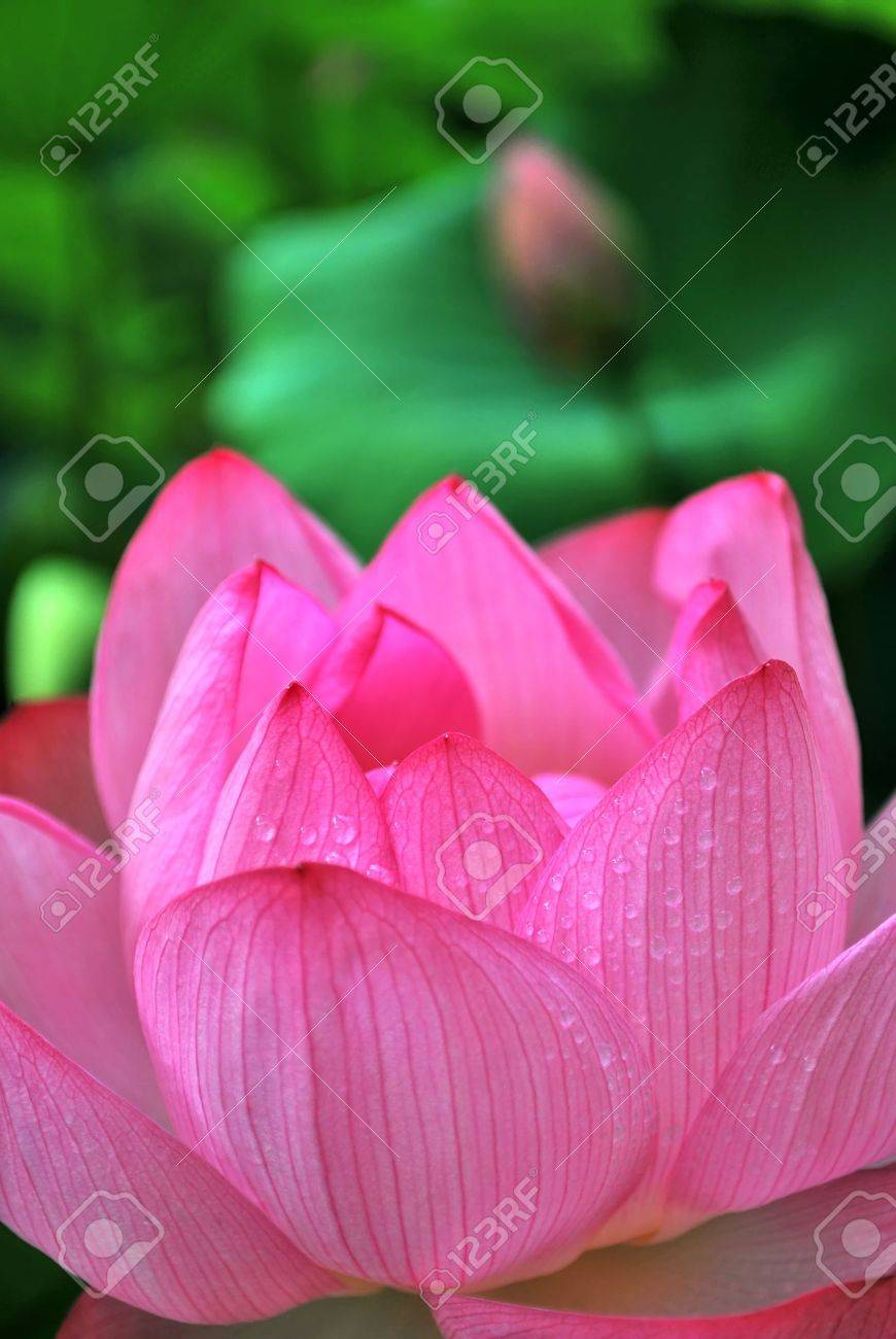 Dew On A Lotus Flower With Lotus Bud In The Background Symbolizing